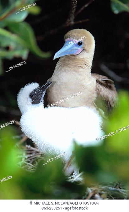 Adult Red-Footed Booby (Sula Sula) with chick