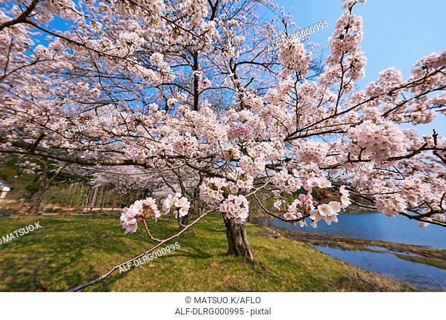 Cherry blossoms in full bloom at Lake Biwa, Shiga Prefecture, Japan