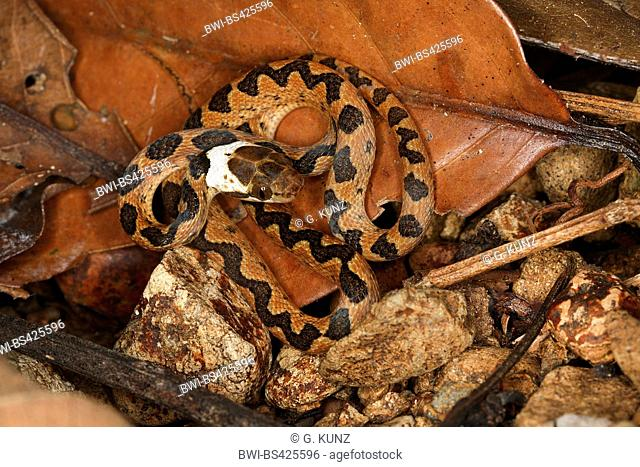 Northern cat-eyed snake (Leptodeira septentrionalis), juvenile rolled-up on the ground, Costa Rica