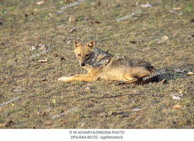 Jackal Canis Aureus , Kanha National Park , madhya pradesh , india