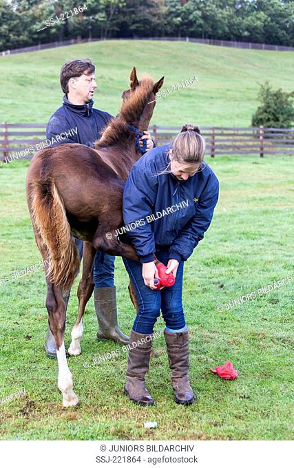 Hanoverian Horse. Changing the bandages of an injured foal. Great Britain