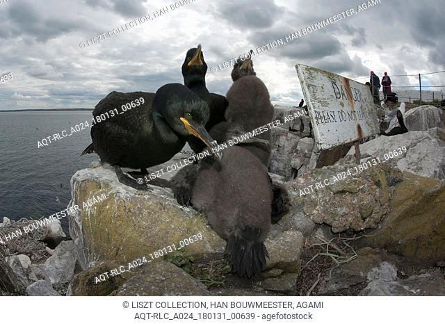 European Shags on the nest