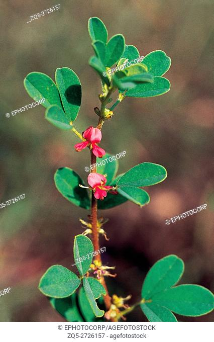 Indigofera Glandulosa or Three Leaf Indigo Family: Fabaceae. A trifoliate weed. The name Glandulosa is on account of the numerous dots on the leaflets