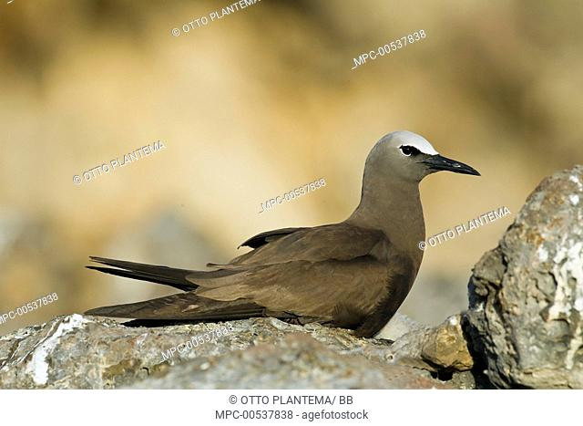 Brown Noddy (Anous stolidus), Ascension Island, South Atlantic