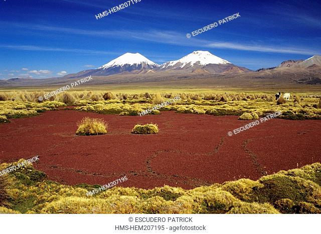 Bolivia, Oruro department, Sajama province, Sajama National Park, water lentils, alpacas, Pomerape and Parinacota volcanoes