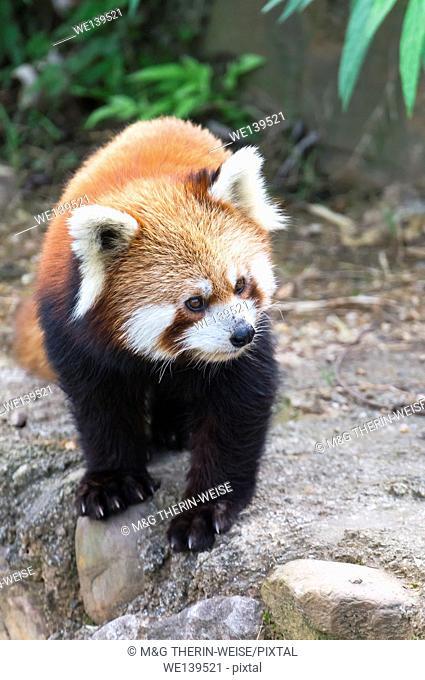 Red Panda (Ailurus fulgens), Sichuan Province, China