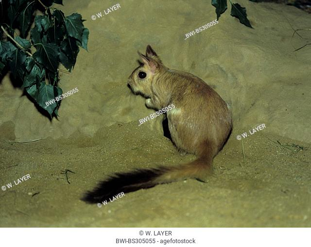 springhare, springhaas, jumping hare (Pedetes capensis), sitting in the sand