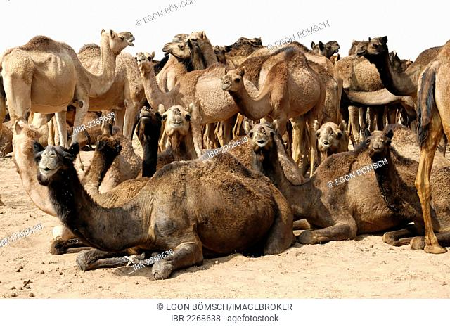Dromedary camels, Arabian camels (Camelus dromedarius), animals used for riding, in the Thar Desert near Jaisalmer, Rajasthan, northern India, India, South Asia