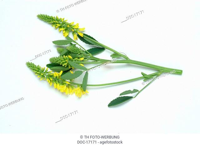 Melilotus officinalis - Melilot - medicinal plant - herb - Melioto comune - erba vetturina