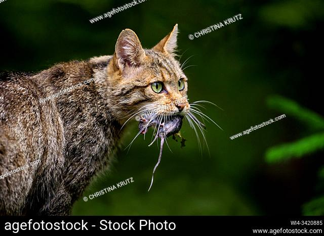 European wildcat (Felis silvestris silvestris) with rat, Bavarian Forest National Park, Bavaria, Germany
