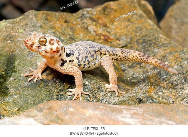 Roborowski's Frog Eyed Gecko (Teratoscincus roborowski), on a stone