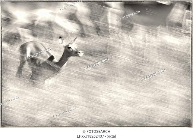 Monochrome close up view of single impala running with motion blur background of rest of herd, Maasai Mara, Kenya