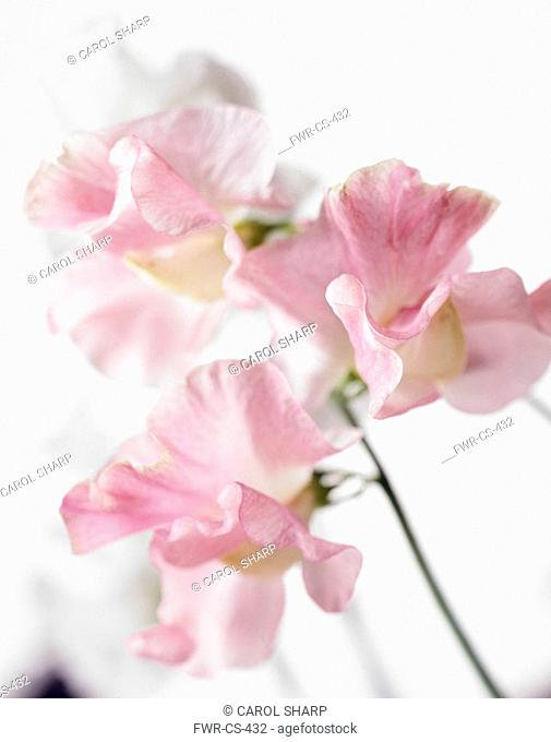 Lathyrus odoratus, Sweet pea