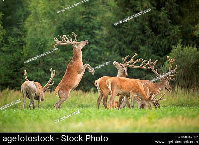 Two fighting red deer stags standing on back feet with antlers in velvet. Herd of deer, cervus elaphus in summer. Natural behaviour of wild animals