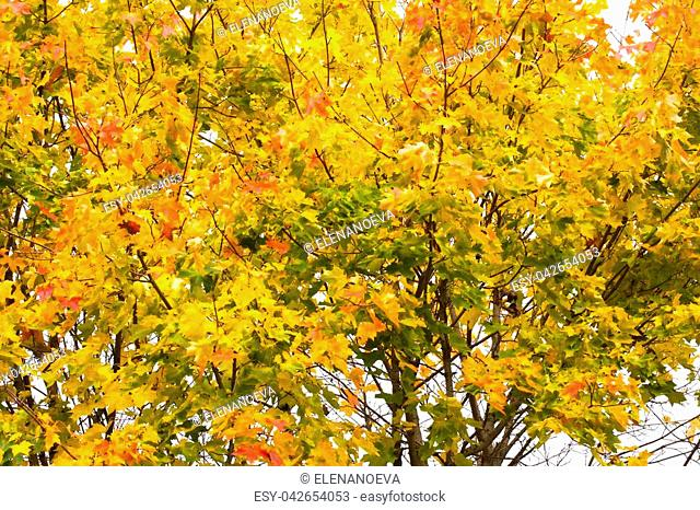Yellow maple leaves in autumn on blue sky background