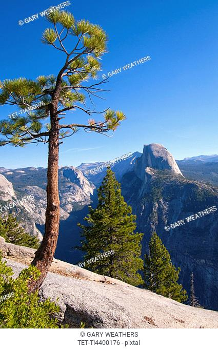 USA, California, pine trees in Yosemite Valley