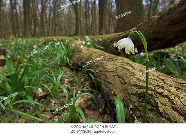 Hungary, spring snowflake in March forest