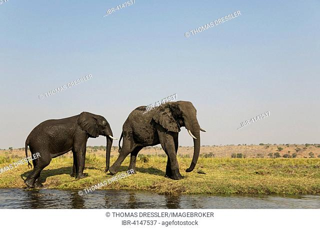 African Elephant (Loxodonta africana), cow on the left and playful bull at the bank of the Chobe River, Chobe National Park, Botswana