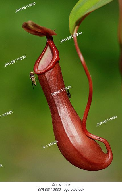pitcher plant (Nepenthes spec.), trap with fly