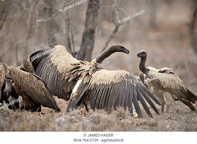African white-backed vulture (Gyps africanus) fighting at a carcass, Kruger National Park, South Africa, Africa