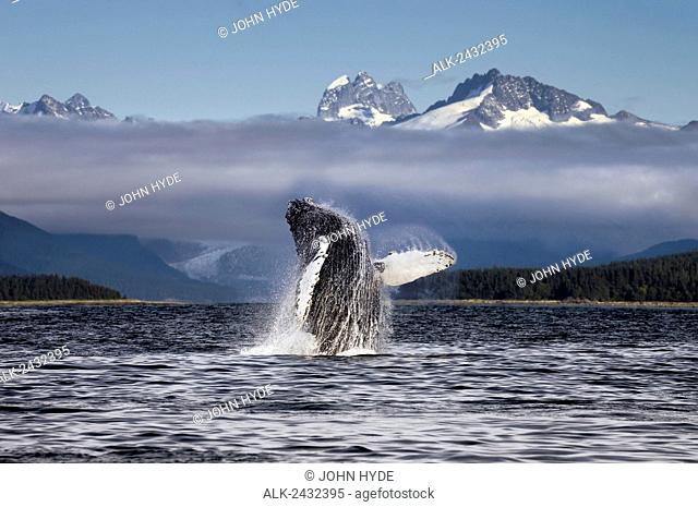 Composite. A humpback whale breaches, leaping from Lynn Canal in Alaska's Inside Passage, near Juneau. Herbert Glacier and snowcapped mountains of Coastal Range...