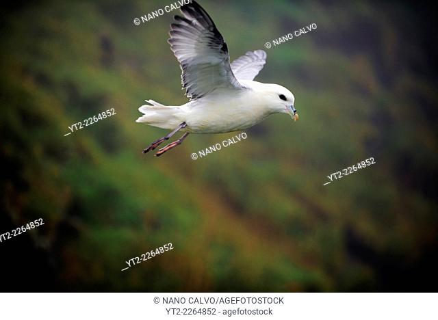 Kittiwake (Rissa tridactyla) in flight, Mykines, Faroe Islands