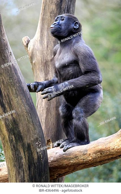 Western lowland gorilla (Gorilla gorilla gorilla), standing upright, on tree trunk, captive