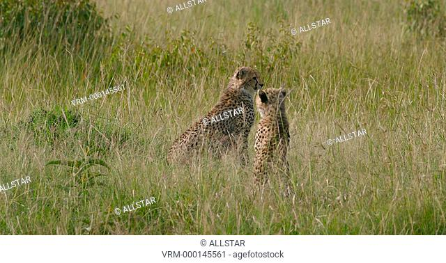 CHEETAH CUBS IN LONG GRASS; MAASAI MARA, KENYA, AFRICA; 29/01/2016