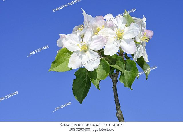 Blossom of Apple Tree (Malus domestica) against clear blue sky. Bavaria, Germany, Europe