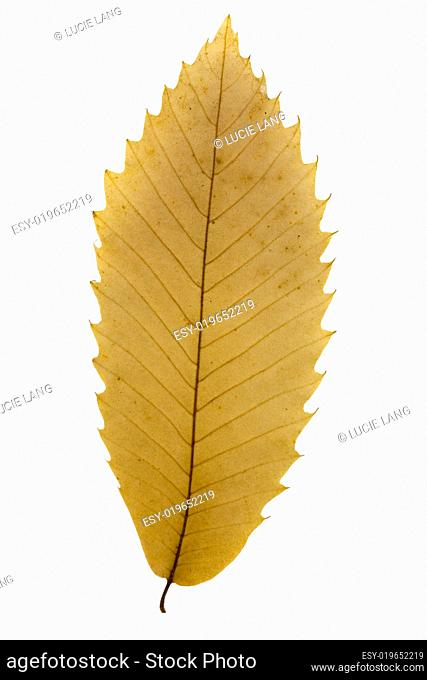 dry autumn leaf over white