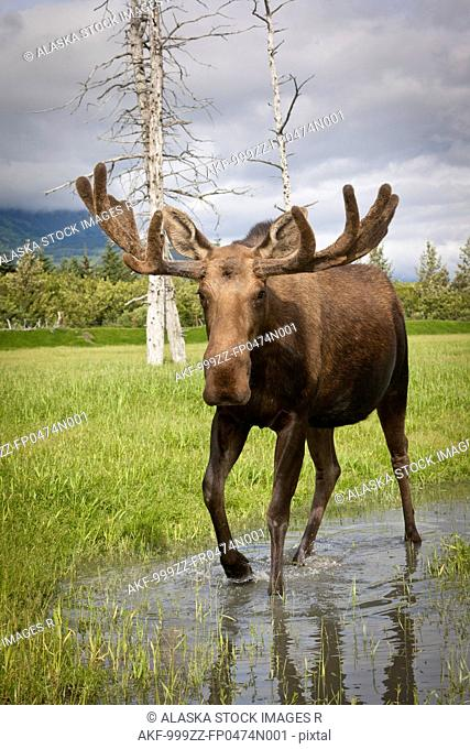 CAPTIVE: Bull moose with its antlers in velvet walks thru water, Alaska Wildlife Conservation Center, Southcentral Alaska, Spring