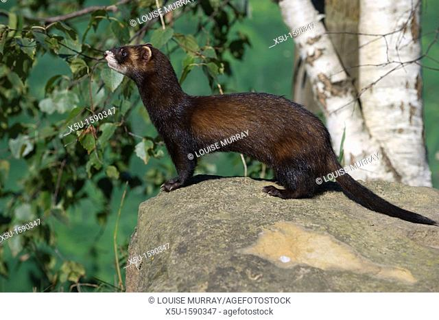 Polecats are members of the weasel family  THese animals are the ancestors of the domestic ferret and can breed with them  Polecat numbers are recovering in the...