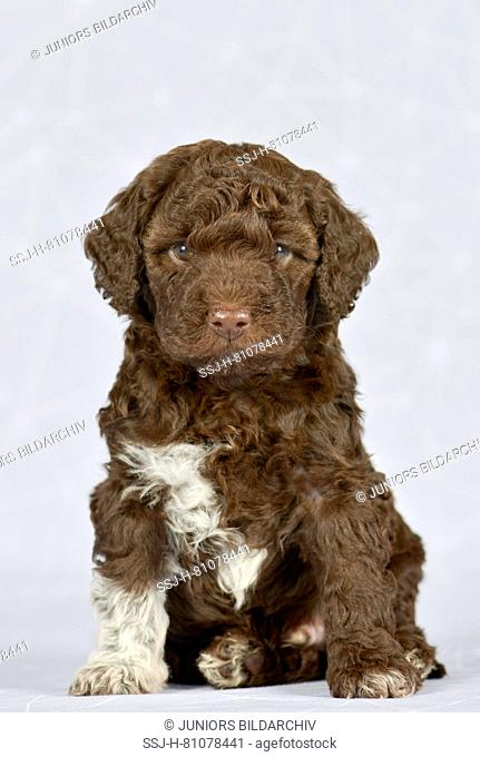 Lagotto Romagnolo. Puppy (5 weeks old) sitting. Studio picture against a gray background. Germany