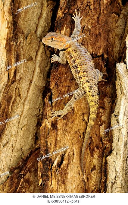 Yellow-backed Spiny Lizard or Desert Spiny Lizard (Sceloporus magister), male, climbing the trunk of a poplar, Grand Staircase-Escalante National Monument, Utah