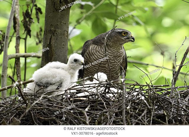 Sparrowhawk ( Accipiter nisus ), adult female with chicks on their eyrie in a deciduous tree, watching, calling, wildlife, Europe