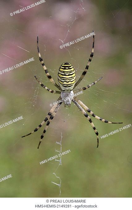 France, Vendee, spider, Argiope Hornet (Argiope bruennichi)