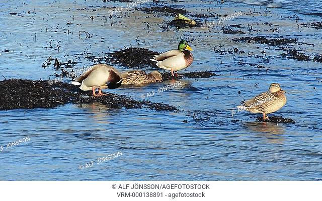 Wild ducks on water