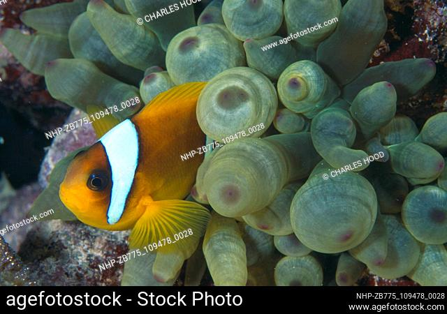 Clownfish  Date: 25/09/2003  Ref: ZB775-109478-0028  COMPULSORY CREDIT: Oceans Image/Photoshot