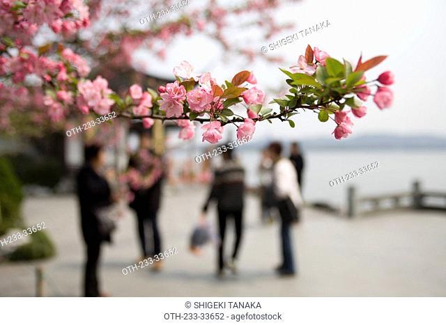 Cherry blossom at West Lake, Hangzhou, China