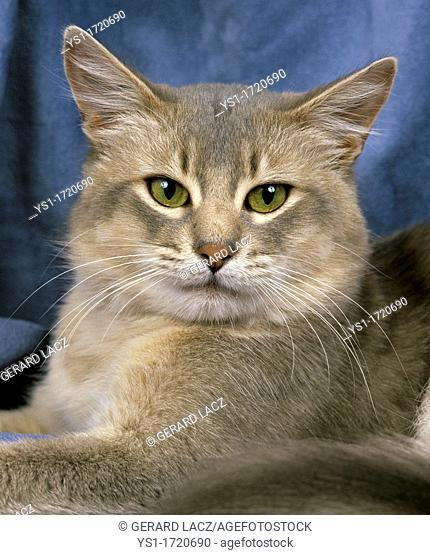 Blue Somali Domestic Cat, Portrait of Adult