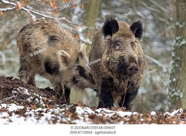 Wildschweine im Schnee, Keiler, captive, Schleswig Holstein, Deutschland, Europa / Wild boar in snow, tusker, Schleswig-Holstein, Germany, Europe / Sus scrofa