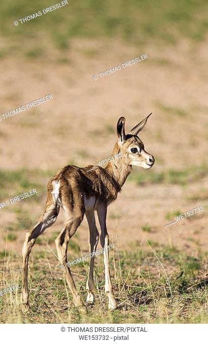 Springbok (Antidorcas marsupialis). Newly born lamb, just a few hours old. Kalahari Desert, Kgalagadi Transfrontier Park, South Africa