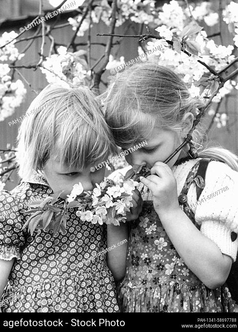 Two little girls are sniffing a lush flowering branch under a fruit tree in spring 1958. The Alte Land is a well-known fruit-growing area in northern Germany...