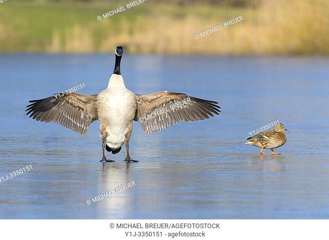 Canadian goose (Branta canadensis) and mallard duck on ice, Hesse, Germany, Europe