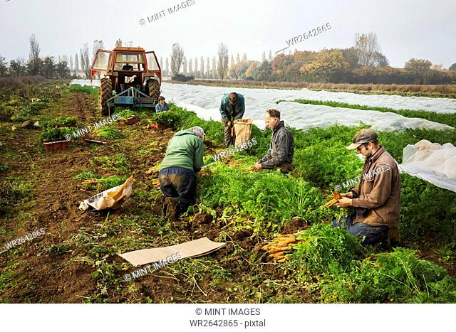 A small group of people harvesting autumn vegetables in the fields on a small family farm