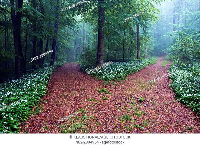 Foggy morning in beech forest, bear's garlic, wild garlic, wood garlic or ramson (Allium ursinum) in full of bloom at wayside - Franconian Jura, Bavaria/Germany