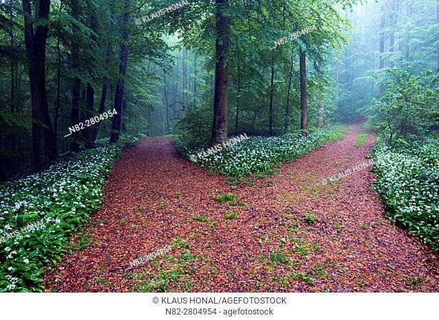 Foggy morning in beech forest, bear's garlic, wild garlic, wood garlic or ramson (Allium ursinum) in full of bloom at wayside - Franconian Jura, Bavaria/Germany
