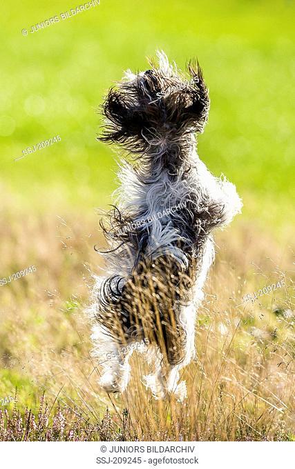 Biewer Terrier. Adult bitch leaping in flowering Heath. Germany
