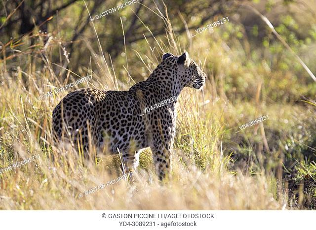 Leopard (Panthera pardus) - Male, Okavango Delta, Moremi Game Reserve, Botswana