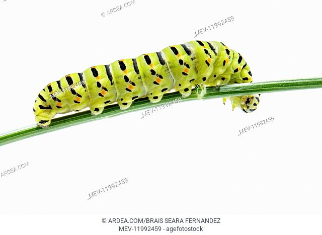 Old World Swallowtail - caterpillar on white background - Galicia, Spain